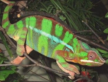 Chameleon pardálí prodej